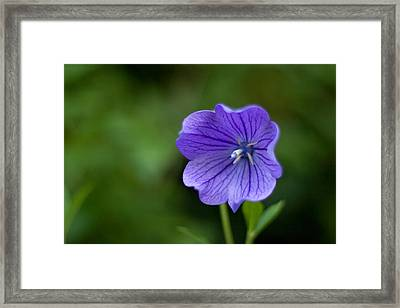 Balloon Flower Framed Print by Michael Russell