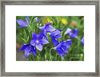 Balloon Flower Framed Print by Timothy Hacker