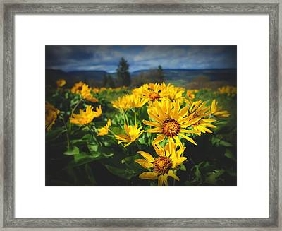 Balsamroot Of The Gorge Framed Print by TK Goforth