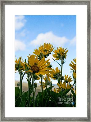 Balsamroot Reaching For The Sky Framed Print by Cari Gesch