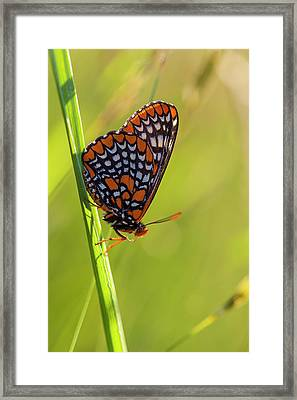 Baltimore Checkerspot Butterfly Framed Print by Jerry and Marcy Monkman