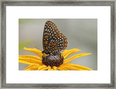 Baltimore Checkerspot With Black-eyed Susan Framed Print by Kathryn Whitaker