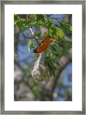 Baltimore Oriole And Nest Framed Print by Jill Bell