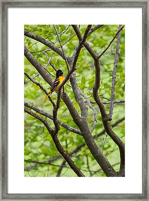 Baltimore Oriole Framed Print by Bill Wakeley