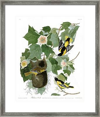 Baltimore Oriole By John James Audubon Framed Print by Pablo Romero