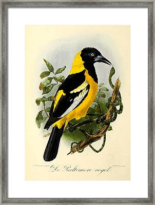 Baltimore Oriole Framed Print by Rob Dreyer