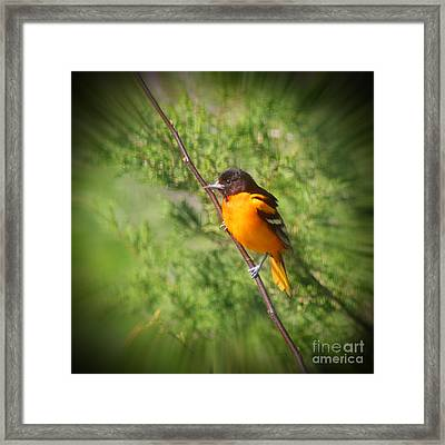 Baltimore Oriole Male #2 Framed Print by Karen Adams