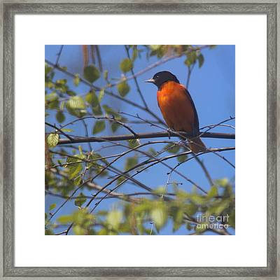 Baltimore Oriole Male And Blue Sky Framed Print by Karen Adams