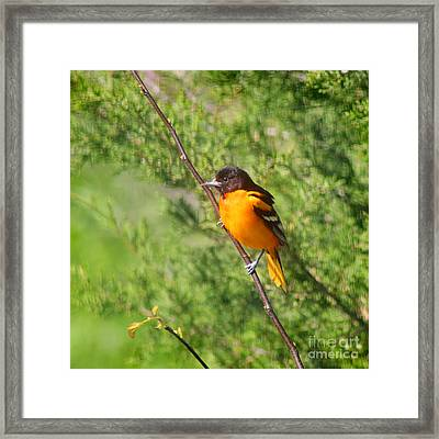 Baltimore Oriole Male Framed Print by Karen Adams