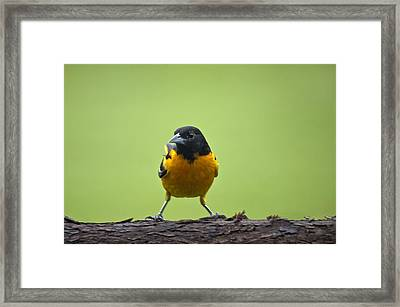 Baltimore Oriole On Cedar Log Framed Print