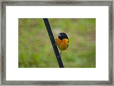 Baltimore Oriole On Pole Framed Print