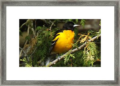 Baltimore Oriole Return To Spring Framed Print