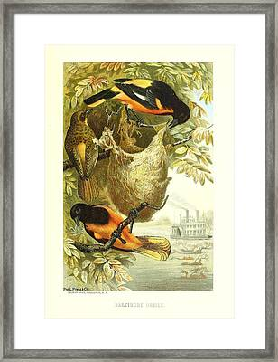 Baltimore Orioles Framed Print by Philip Ralley