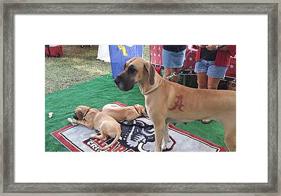 Bama Great Dane Framed Print