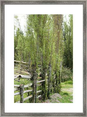 Bamboo Fence In A Pasture Framed Print