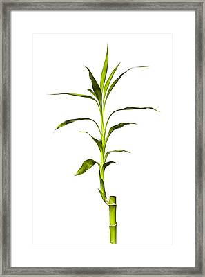 Bamboo Framed Print by Jeff Burton
