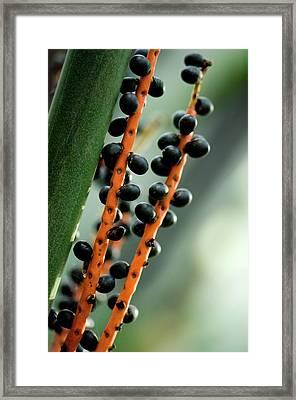 Bamboo Palm (chamaedorea Seifrizii) Framed Print by Maria Mosolova