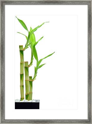 Bamboo Stems In Black Vase Framed Print by Olivier Le Queinec