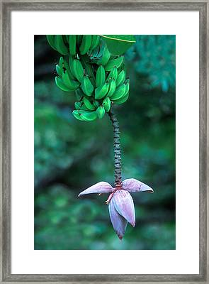 Banana Flower Framed Print by Panoramic Images