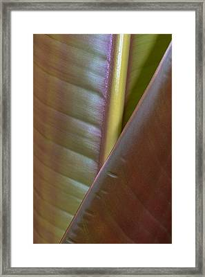 Banana Leaf, Sarapiqui, Costa Rica Framed Print by Panoramic Images