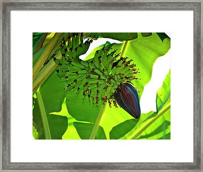 Banana Nut Framed Print by Christi Kraft