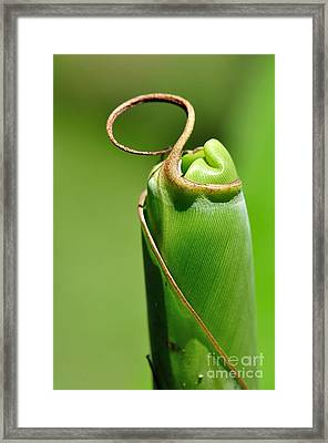 Banana Palm Frond Ready To Unfurl Framed Print by Kaye Menner