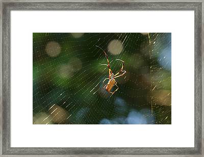 Banana Spider In Web Framed Print