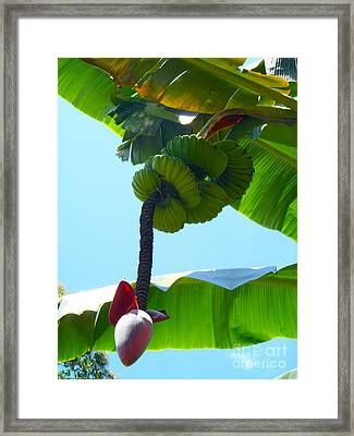 Banana Stalk Framed Print by Carey Chen