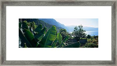 Banana Trees In A Garden Framed Print by Panoramic Images