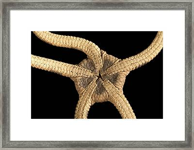 Banded Brittle Star Framed Print by Natural History Museum, London