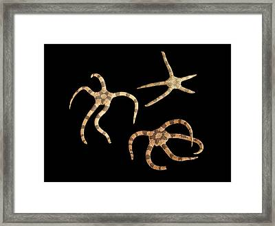 Banded Brittle Stars Framed Print by Natural History Museum, London