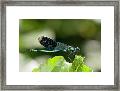 Banded Demoiselle Damselfly Framed Print by Bob Gibbons