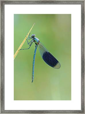 Banded Demoiselle Damselfly Framed Print by Science Photo Library