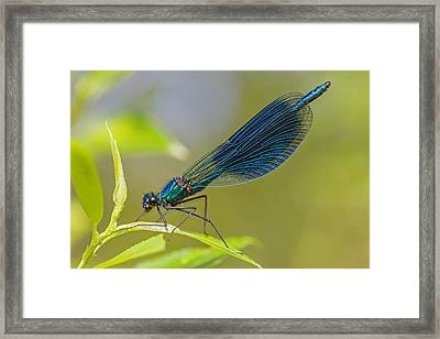 Banded Demoiselle Damselfy Male Framed Print by Alex Huizinga