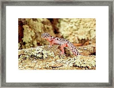 Banded Gecko, Coleonyx Variegatus Framed Print