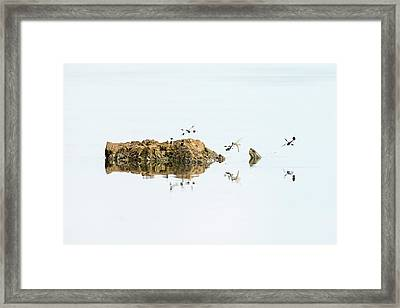 Banded Groundling Dragonfly Framed Print by Photostock-israel