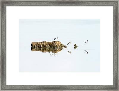 Banded Groundling Dragonfly Framed Print