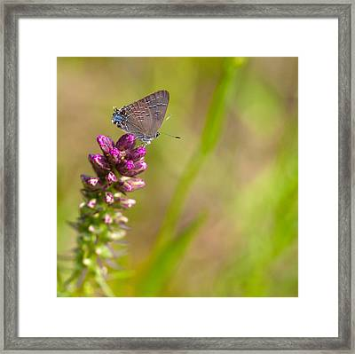 Banded Hairstreak Butterfly Framed Print