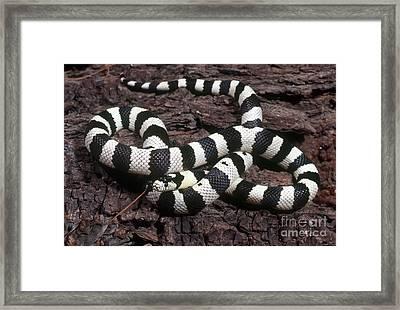 Banded Kingsnake Framed Print