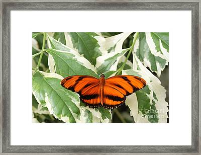 Banded Orange Longwing Butterfly Framed Print by Judy Whitton