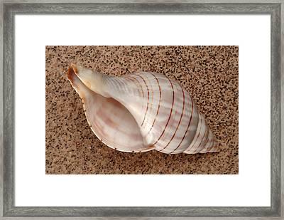 Banded Tulip Shell Framed Print