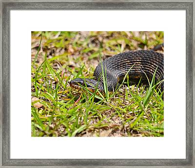 Banded Water Snake Framed Print by Al Powell Photography USA