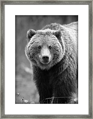 Banff Grizzly In Black And White Framed Print by Stephen Stookey