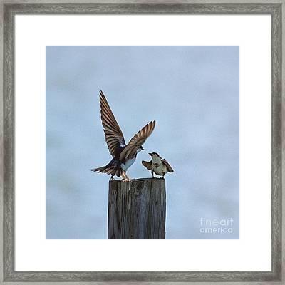 Bank Swallow Romance Framed Print