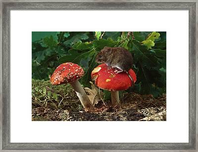 Bank Vole On Mushroom Framed Print