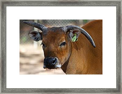 Banteng Girl Framed Print
