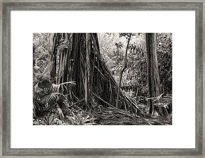 Strangler Fig And Cypress Tree Framed Print by Rudy Umans