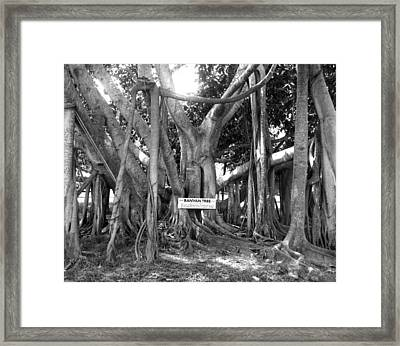 Banyan Tree Framed Print by Retro Images Archive