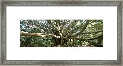 Banyan Tree Stretches In All Framed Print