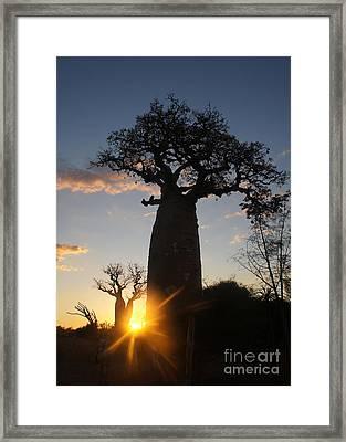 baobab from Madagascar 6 Framed Print